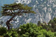 Pine tree in Huashan Stock Image