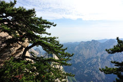 Pine tree at huashan mountain Stock Image