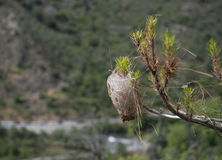 Pine tree infected with bagworm caterpillar cocoon. Royalty Free Stock Photo