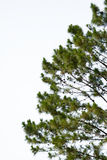 Pine tree isolate on white Stock Photos