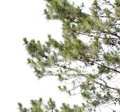 Pine tree isolate on white Royalty Free Stock Photography