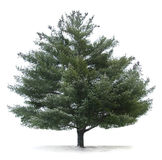 Pine Tree Isolated Stock Images