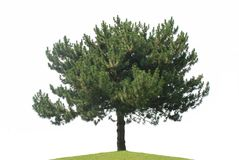 Pine tree isolated. On a white background Royalty Free Stock Image