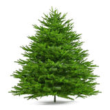 Pine tree isolated. Abies firma Stock Image