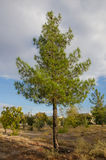 Pine tree. An isolated pine tree in garden Royalty Free Stock Photo