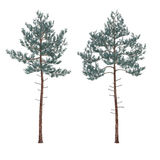 Pine tree isolated. See my other works in portfolio Royalty Free Stock Photos