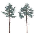 Pine tree isolated. Royalty Free Stock Photos