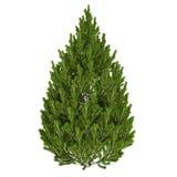 Pine Tree Isolated. On white Royalty Free Stock Photos