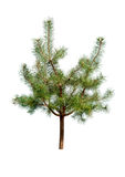 Pine tree isolated Stock Image