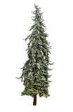 Pine tree Royalty Free Stock Photography