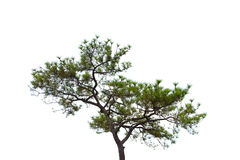 Pine-tree. royalty free stock images