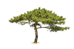Pine tree isolated. On a white background stock image