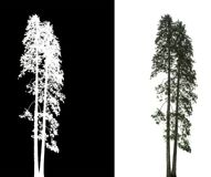 Pine tree isolated. Pine tree on white background with alpha channel stock photos