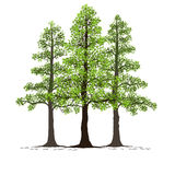Pine Tree. Isolated on white background. Vector Illustration