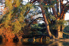 Pine tree with its branches arching over water. Beautiful spreading old pine tree with its branches arching over rippling water causing a reflection in the Stock Image