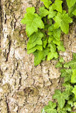 Pine tree and ivy Stock Photography