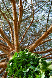 Pine tree and ivy. Needle leaf pine tree and ivy blue sky royalty free stock photo