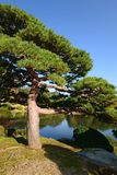 Pine tree in Japan Stock Photography