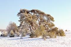 Pine tree. Royalty Free Stock Photo