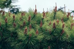 Songta- pine tree. The pine tree is pine kossen genus collectively, evergreen coniferous trees, monoecious. Branch whorls, a section or a number of annual royalty free stock images