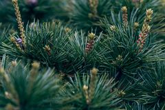 Pinecone- pine tree. The pine tree is pine kossen genus collectively, evergreen coniferous trees, monoecious. Branch whorls, a section or a number of annual royalty free stock photos