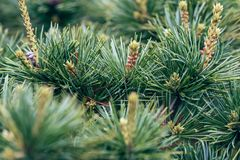 Pinecone- pine tree. The pine tree is pine kossen genus collectively, evergreen coniferous trees, monoecious. Branch whorls, a section or a number of annual stock photography