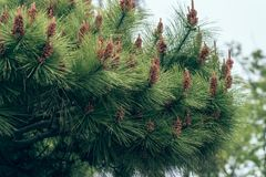 Pinecone- pine tree. The pine tree is pine kossen genus collectively, evergreen coniferous trees, monoecious. Branch whorls, a section or a number of annual stock images