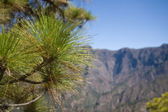 Pine tree at La Palma, Canary Islands Royalty Free Stock Photos