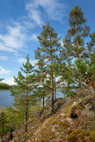 Pine tree on Ladoga lake shore Royalty Free Stock Image