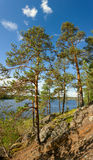 Pine tree on Ladoga lake shore Royalty Free Stock Photography