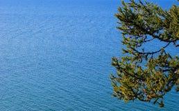 Pine tree. Lake Baikal. Stock Images