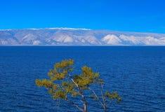 Pine tree. Lake Baikal. Stock Photo