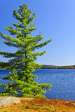 Pine tree at lake shore Royalty Free Stock Photography