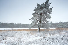 Pine tree by lake in snow. Roden, Netherlands Royalty Free Stock Images