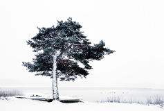 Pine tree by lake in winter Stock Photo