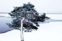 Pine tree by lake in winter Royalty Free Stock Photos