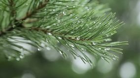 Pine tree with large needles_2 stock video