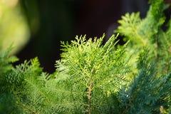 Pine tree leaf Stock Photography