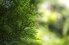 Pine tree. Pine leaf, pine bokeh, pine macro Stock Photo