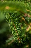 Pine tree leaf close up green background stock photography