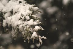 Pine Tree Leaf Cover in Snow Royalty Free Stock Images