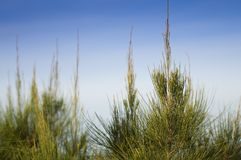 Pine tree leaf detail Stock Image