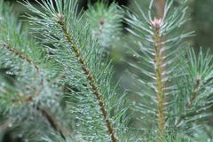 Moist pine tree leaves with water droplets stock image