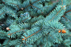 Pine Tree Leaves Stock Photo