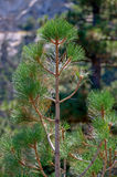 Pine Tree Leaves Stock Image