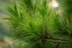 Pine tree leaves royalty free stock photography