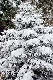 Pine tree leaves Royalty Free Stock Photo