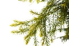 Pine tree leaves Stock Image