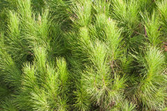 Pine tree. Leaves with details Royalty Free Stock Images