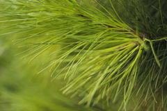 Pine tree leaves Royalty Free Stock Photo